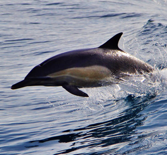Pacific Ocean Dolphins