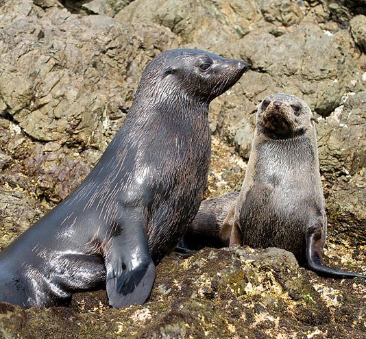 california Seals