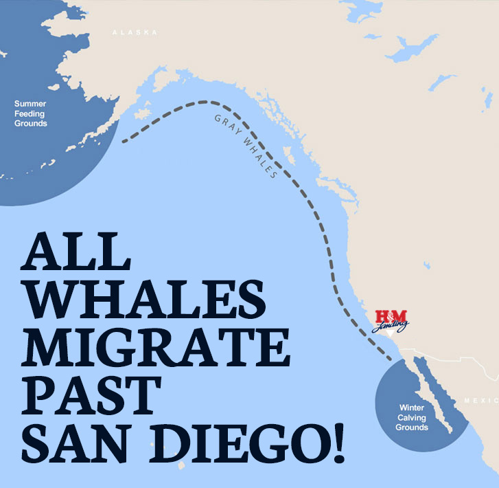 All Whales Migrate by San Diego!